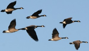 Geese-Flying